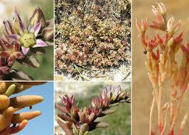 Sedum rubens L. - Sistema informativo sulla flora vascolare dei Colli ...