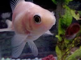 white goldfish ile ilgili görsel sonucu