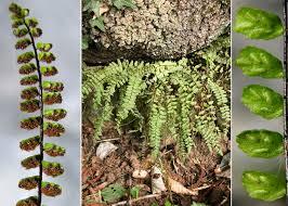 Asplenium trichomanes L. - Portale sulla flora del Parco Naturale ...