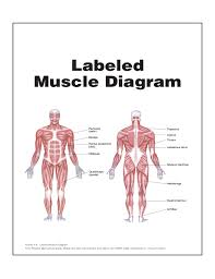 labeled muscle diagram   aof comgallery of labeled muscle diagram