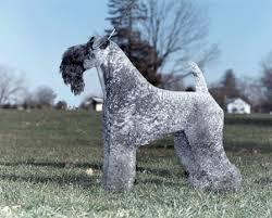 Ποιο είναι το εκτός μόδας Terrier;