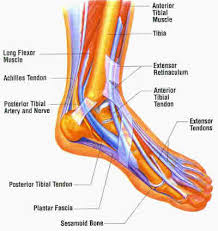 diagram of the foot ligaments   aof comgallery of diagram of the foot ligaments