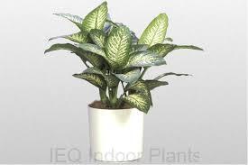 200 dieffenbachia snow best low light office plants