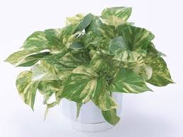 room plants x:  pothos adfccdfffeetoday inline large