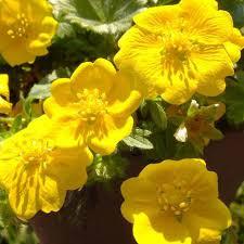 POTENTILLA AUREA SEEDS (Dwarf Yellow Cinquefoil) - Plant ...