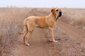 Собака фила бразилейро * описание породы <b>бразильский фила</b>