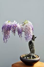 wisteria bought bonsai tree