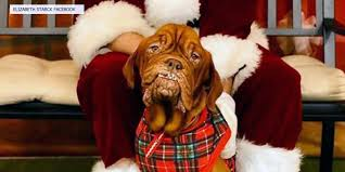 <b>French Mastiff</b> with terminal cancer, large online following adopted ...