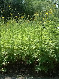 File:Ranunculus serbicus RB.jpg - Wikipedia