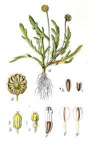 Cotula coronopifolia - Wikipedia