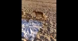 В Анапе <b>голодная лиса</b> выбежала на пляж к отдыхающим людям ...