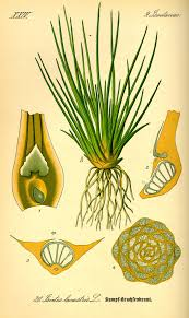 Isoetaceae - Wikipedia