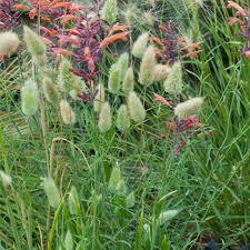 Bunny Tails Grass - Lagurus ovatus seeds - Select Seeds