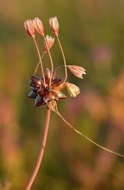 Allium oleraceum - Wikipedia