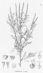 Ambrosia tenuifolia - Wikispecies