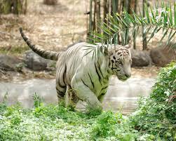 rediscover pune your kids cox kings blog rajive gandhi zoo is home to tigers leopards sambhars blackbucks monkeys
