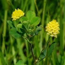 Trifolium campestre | Online Atlas of the British and Irish Flora