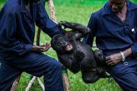 saving congo s gorillas a refuge for species under threat com