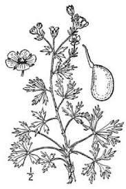 Plants Profile for Potentilla argentea (silver cinquefoil)