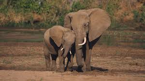 words essay on african elephant