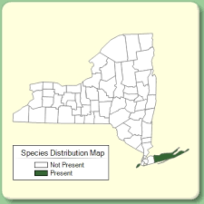 Diplotaxis erucoides - Species Page - NYFA: New York Flora Atlas