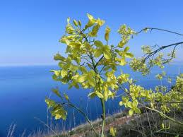 Brassica villosa Biv.