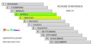 Silene laeta [Silene rigogliosa] - Flora Italiana