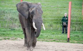 ​​​​​​​<b>African Bull</b> Elephant, Shaka, arrives at Noah's Ark Zoo ...