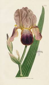 Iris Sambucina. Elder-scented Iris. from William Curtis Botanical ...