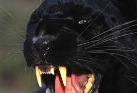 Image result for images of panthers