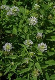 Spice Pages: Blue Fenugreek (Trigonella caerulea, blue-white ...