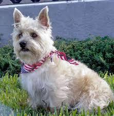 Ο σκύλος Gairn Terrier...