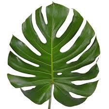 <b>Monstera Leaves</b> Tropical Greenery