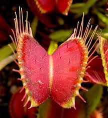 Venus <b>flytrap</b> - Wikipedia