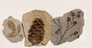 Resultado de imagen de fossil plants