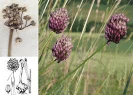 Allium rotundum L. - Sistema informativo sulla flora vascolare dei ...