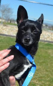 ideas about pet adoption center chihuahua mix <3 agnes <3 terrier chihuahua x adult female