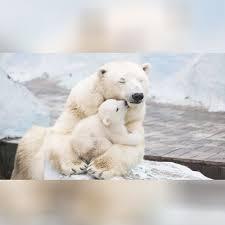 <b>cute</b> polar <b>bear family</b> - pling.com