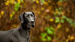 10 Mighty Facts About <b>Great Danes</b>   Mental Floss