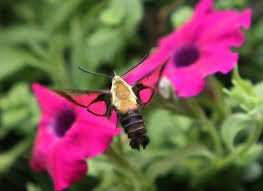 Hummingbird <b>Moth</b>