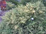 Images & Illustrations of coyote brush