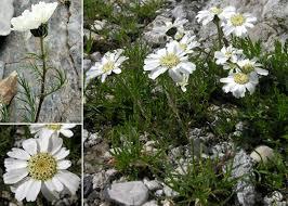 Achillea barrelieri (Ten.) Sch.Bip. subsp. oxyloba