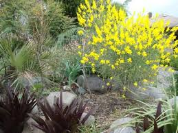 Genista aetnensis | Mount Etna Broom| plant lust