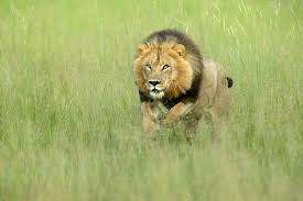 Image result for charging lion