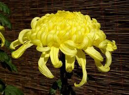 Chrysanthemum - Wikipedia