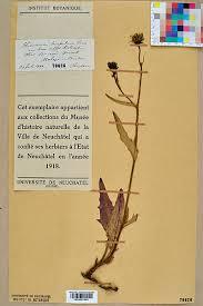 File:Neuchâtel Herbarium - Hieracium bocconei - NEU000014924.jpg