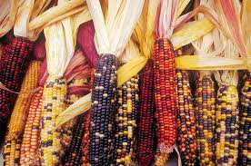 Image result for colored corn
