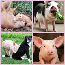 Image result for Denmark has twice as many pigs as there are people.