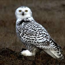 <b>Белая</b> сова — Википедия