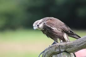 1,000+ <b>Free Hawk</b> & Falcon Images - Pixabay